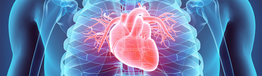 Graphic image of human torso in blue, semi-transparent, with heart lit up in red for emphasis.