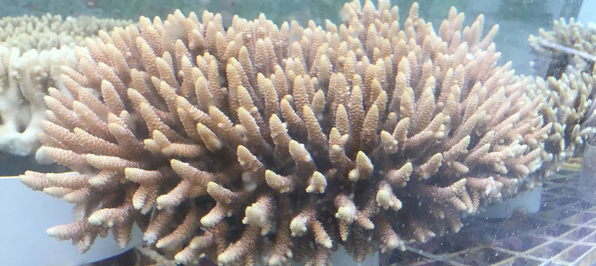 Photo of coral with finger-shaped appendages.
