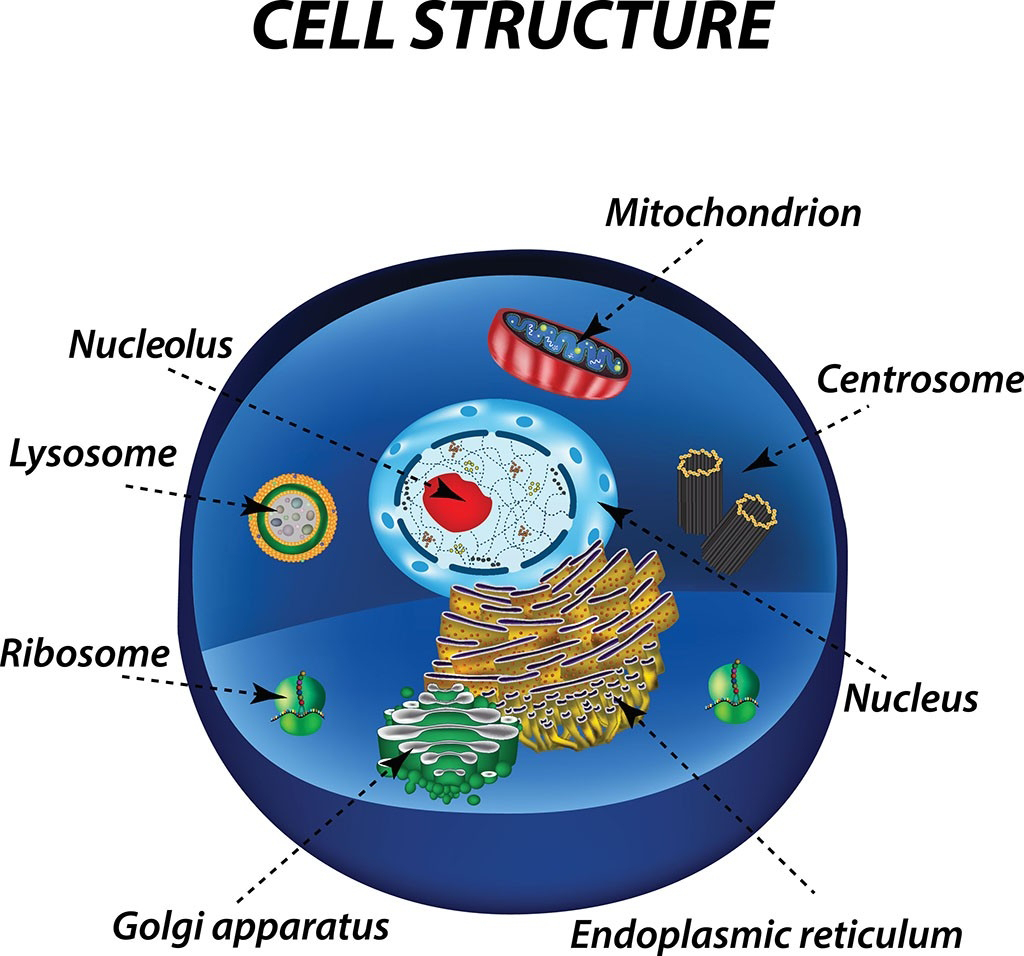 Diagram of cell structure pointing out cell nucleus, lysosome, ribosome, golgi apparatus, mitochondrion, centrosome, nucleus, and endoplasmic reticulum.