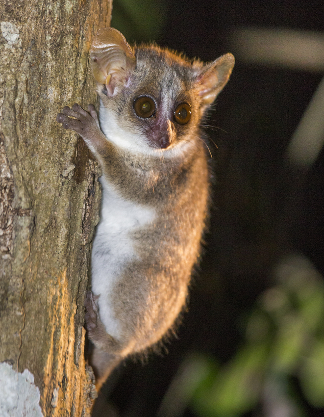 Photo of a mouse lemur clinging to a tree at night.