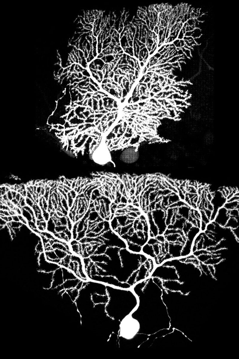 Image showing two different branching neuron cells in white on a dark background. Top cell has densely-packed branches close to its primary stem, clustered relatively close all the way up. Lower cell branches out further vertically and then extends out horizontally more like a river delta.