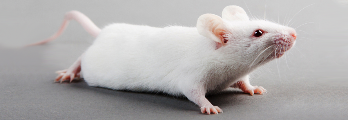 lab mouse pictures - 729×486
