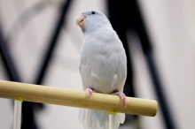 Screenshot image of a white parrotlet resting on a perch.