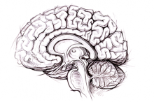 Graphic of a sketch of the human brain.