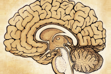 Artistic sketch-style version of a diagram of a brain.