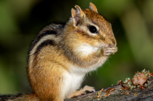 Photo of a chipmunk eating.