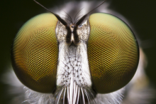 Super close up photo of a fly's compound eyes.