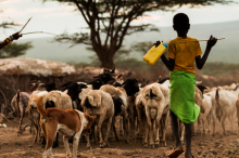 Young boy helping a parent to herd goats on a dusty road in Africa.