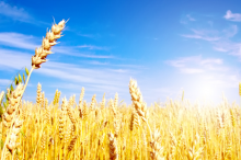 Photo of gold wheat underneath a blue sky.