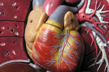 Photo of a plastic anatomical model showing its heart.