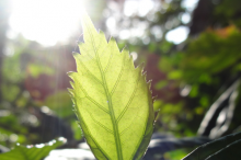 Photo of a leaf with sunlight shining through it from behind.