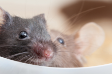 Photo of two mice peering over the edge of a small plastic partition.
