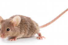 Photo of a small brown mouse on a white background.