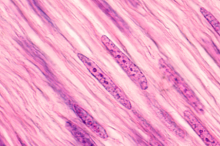 Image of muscle cells showing how long and striated they are.