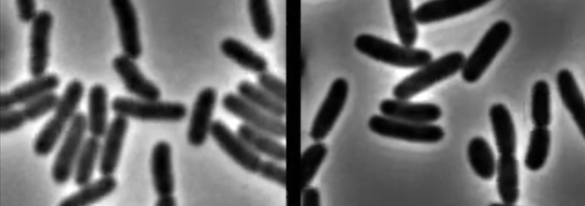 Screenshot of video, showing E. coli bacteria on left with strong membranes, and specimens on the right with weaker membranes, suffering from stressors.